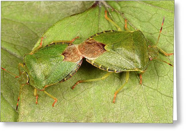 Green Shield Bugs Mating Greeting Card by Nigel Downer