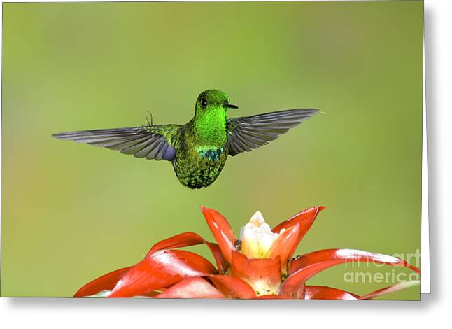 Green Thorntail Male Greeting Card by Anthony Mercieca