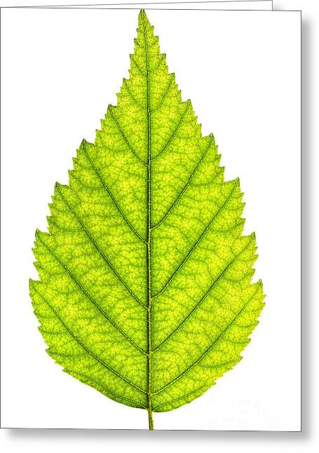 Green Foliage Photographs Greeting Cards - Green tree leaf Greeting Card by Elena Elisseeva