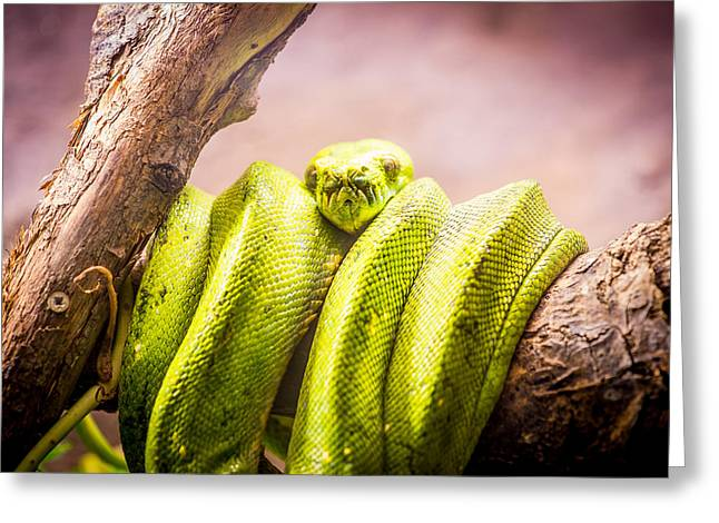 Green Tree Python Greeting Card by Pati Photography