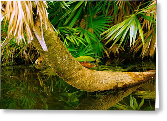 Florida Wildlife Photography Greeting Cards - Green Turtle Chelonia Mydas In A Pond Greeting Card by Panoramic Images