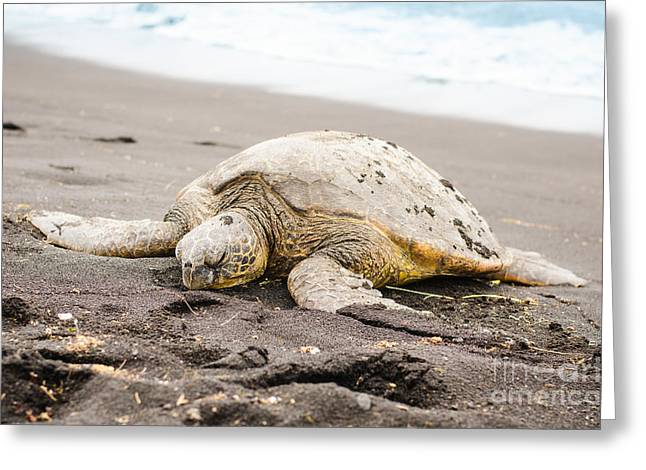 Green Sea Turtle Greeting Cards - Green Turtle on the Black Beach Greeting Card by Chris Ann Wiggins