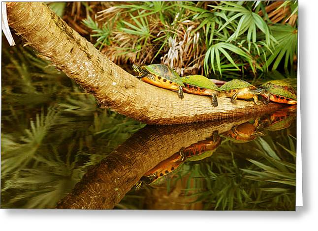 Overhang Photographs Greeting Cards - Green Turtles Chelonia Mydas On A Tree Greeting Card by Panoramic Images