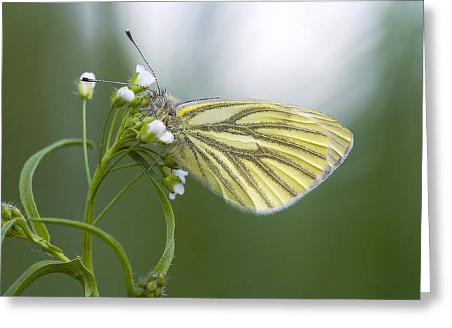 Eating Entomology Greeting Cards - Green-veined white butterfly feeding Greeting Card by Science Photo Library