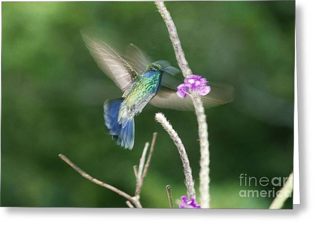 Hovering Greeting Cards - Green Violet-ear Hovering At Flower Greeting Card by Gregory G. Dimijian, M.D.