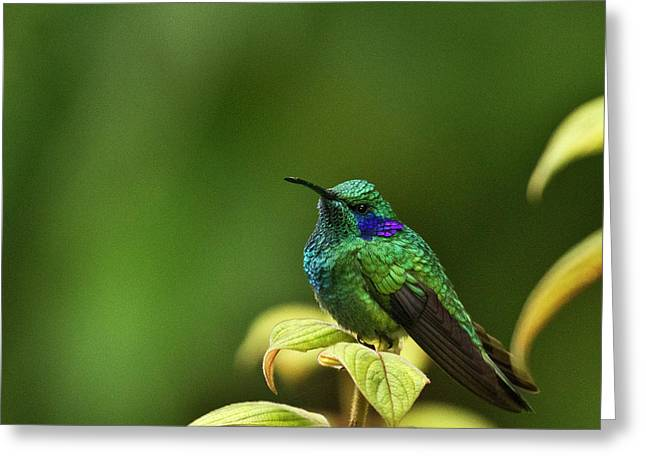 Trochilidae Greeting Cards - Green Violetear Hummingbird Greeting Card by Heiko Koehrer-Wagner