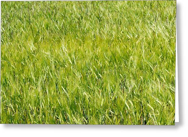 Fresh Food Greeting Cards - Green Wheat Field  Greeting Card by Chay Bewley