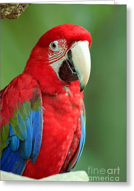 Blue And Green Greeting Cards - Green-winged Macaw Greeting Card by Sohns/Okapia