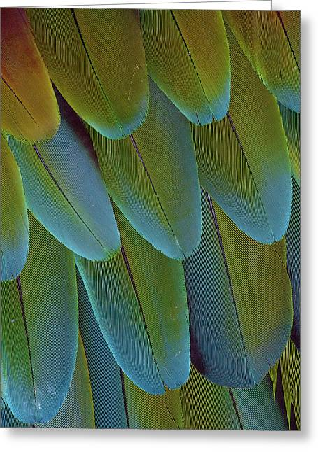 Green-winged Macaw Wing Feathers Greeting Card by Darrell Gulin
