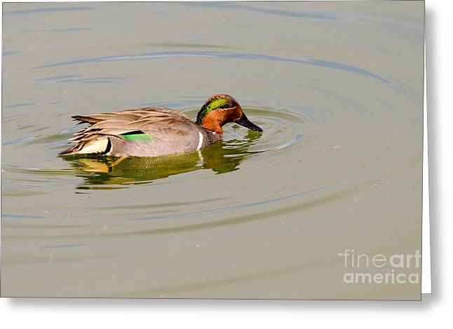 Winter Migrants Greeting Cards - Green-winged Teal at Feeding Time Greeting Card by Debra Martz