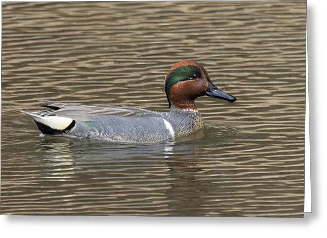 Maine Spring Greeting Cards - Green-winged Teal Greeting Card by Jim Walker