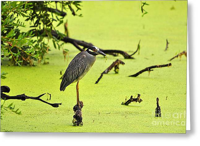 Crowned Heron Greeting Cards - Green Yellow and Red Greeting Card by Al Powell Photography USA