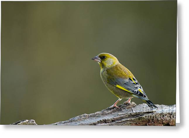 Colourful Bark Greeting Cards - Greenfinch Greeting Card by Anne Gilbert