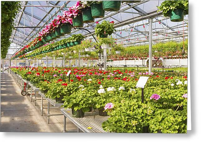 Basket Pot Greeting Cards - Greenhouse Full Of Geraniums Panorama Photograph Greeting Card by Keith Webber Jr