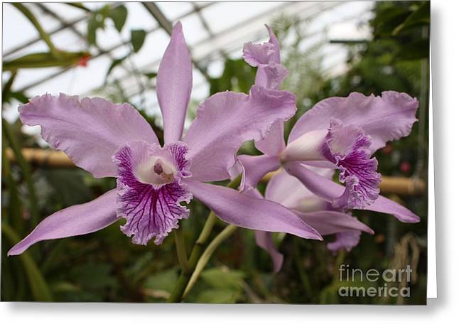 Carol Groenen Greeting Cards - Greenhouse Ruffly Orchids Greeting Card by Carol Groenen