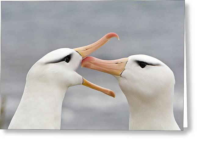Greeting Black-browed Albatrosses Greeting Card by Dickie Duckett