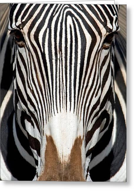 Reserve Greeting Cards - Greveys Zebra, Samburu National Greeting Card by Panoramic Images