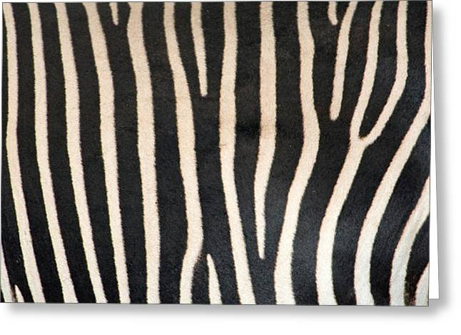 Greveys Zebra Stripes Greeting Card by Panoramic Images