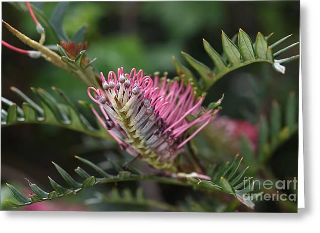 Australian Native Flora Greeting Cards - Grevillea  Greeting Card by Joy Watson