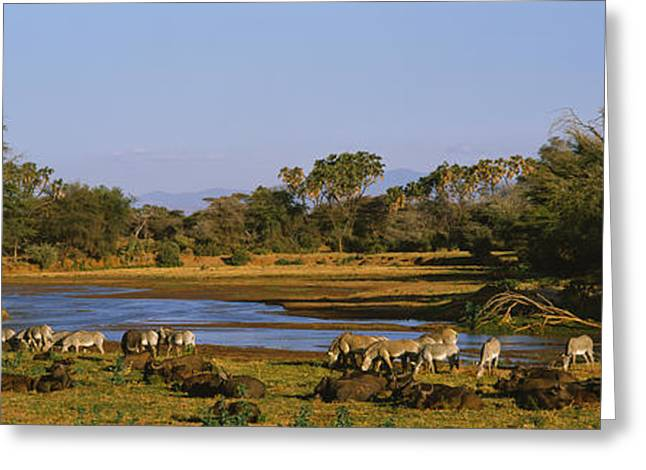 Zebra Grazing Greeting Cards - Grevys Zebra And African Buffalos Greeting Card by Panoramic Images