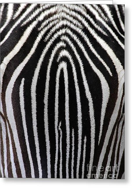 Wildlife In Captivity Greeting Cards - Grevys Zebra Greeting Card by Craig K Lorenz