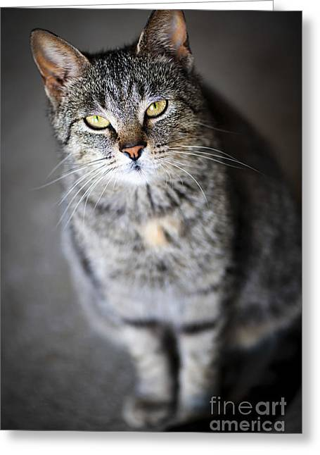 Sat Greeting Cards - Grey cat portrait Greeting Card by Elena Elisseeva