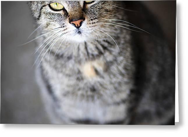 Grey cat portrait Greeting Card by Elena Elisseeva