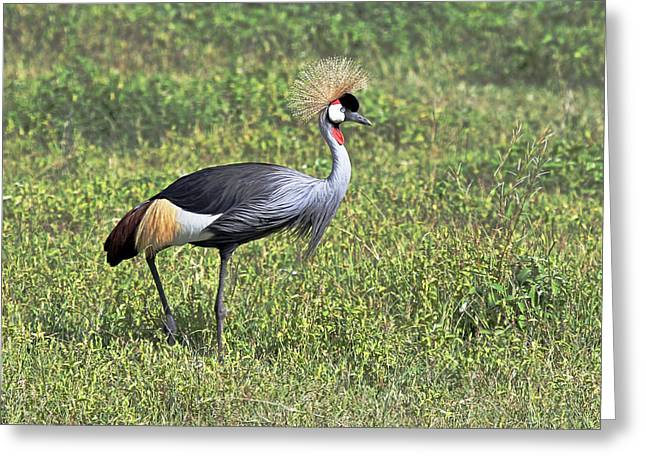 Birds Greeting Cards - Grey Crowned Crane Greeting Card by Tony Murtagh