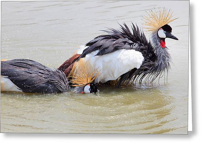 Water Play Greeting Cards - Grey Crowned Crane washing in natural water pool Greeting Card by Suriya  Silsaksom
