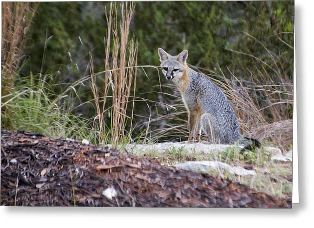 Grey Fox At Rest Greeting Card by Dana Moyer