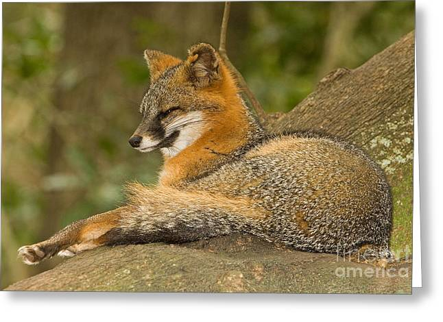 Duval County Greeting Cards - Grey Fox Greeting Card by Millard H. Sharp