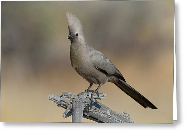 Go Away Greeting Cards - Grey Go-away-bird Corythaixoides Greeting Card by Panoramic Images