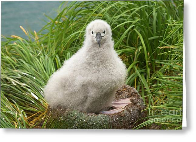 Grey-headed Albatross Chick S Georgia Greeting Card by