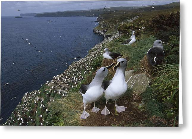 Diomedeidae Greeting Cards - Grey-headed Albatross Colony Campbell Greeting Card by Tui De Roy