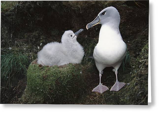 Diomedeidae Greeting Cards - Grey-headed Albatross Greeting Chick Greeting Card by Tui De Roy