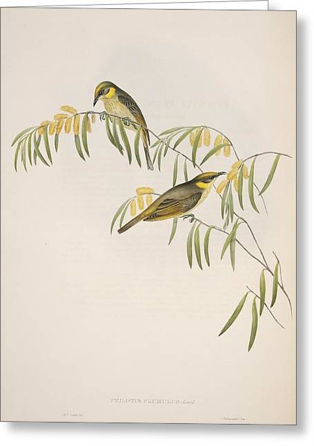 John Gould Greeting Cards - Grey-headed honeyeaters, artwork Greeting Card by Science Photo Library