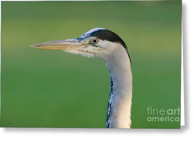 Grey Heron Greeting Cards - Grey Heron Greeting Card by Frank Derer