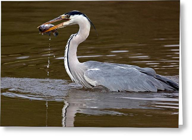 Grey Heron Greeting Cards - Grey Heron, Kenya Greeting Card by Panoramic Images