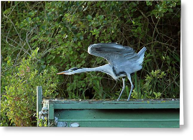 Grey Heron Stretching Its Wings Greeting Card by Simon Booth
