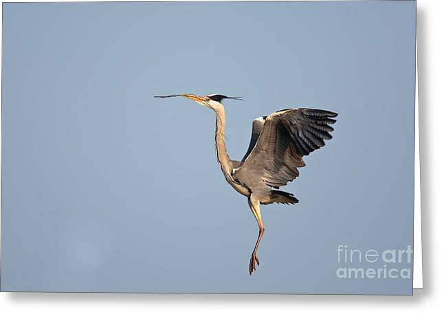 British Fauna Greeting Cards - Grey Heron With Stick Greeting Card by Thomas Hanahoe