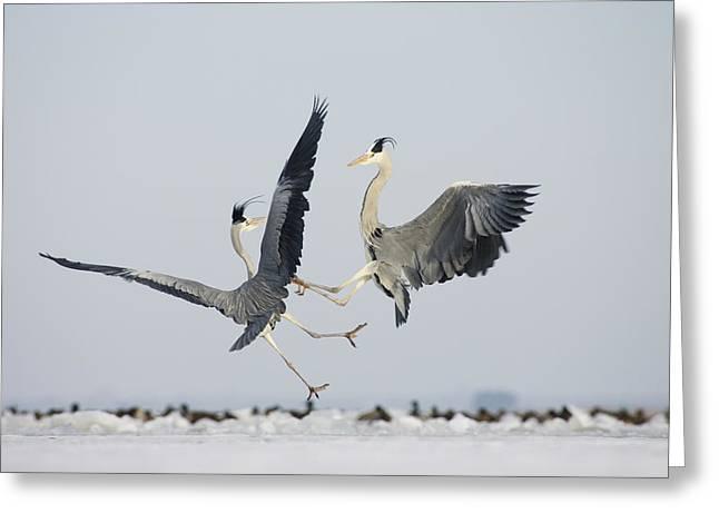 Gray Heron Greeting Cards - Grey Herons Fighting Germany Greeting Card by Konrad Wothe