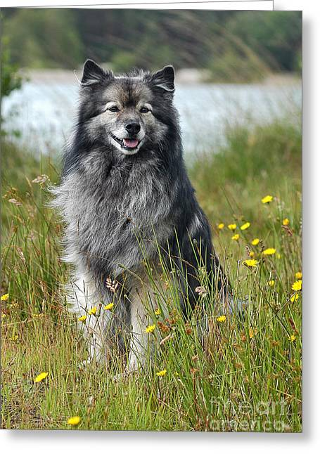 Grau Greeting Cards - Grey Keeshond dog sitting in grass Greeting Card by Dog Photos
