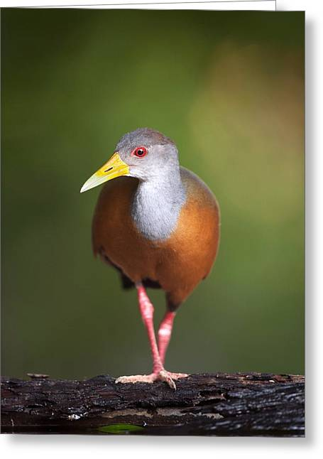 Coloured Plumage Greeting Cards - Grey-necked wood rail by water Greeting Card by Science Photo Library