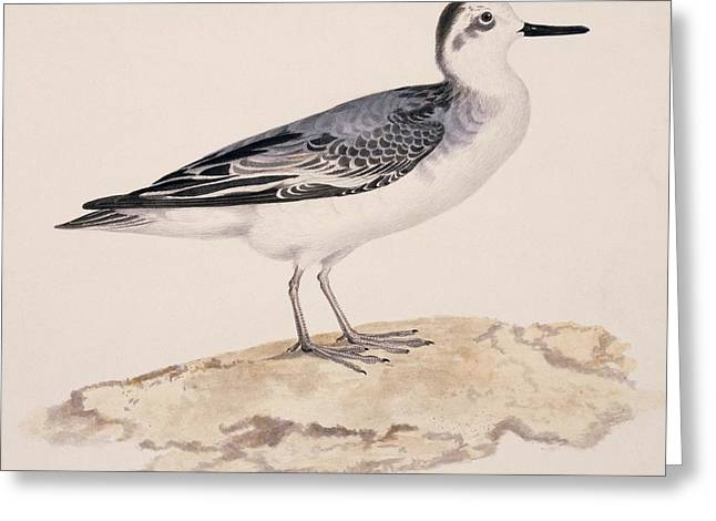 Grey Phalarope, 19th Century Greeting Card by Science Photo Library