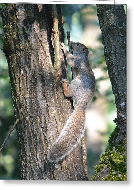 Gnawing Greeting Cards - Grey Squirrel a Gnawing Greeting Card by Nicki Bennett