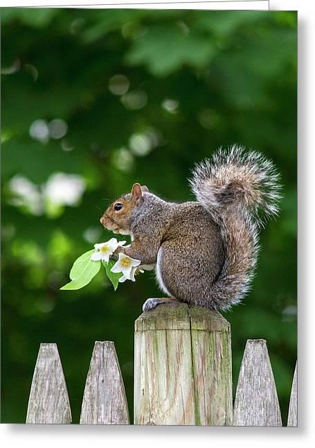 Grey Squirrel Greeting Card by Babak Tafreshi