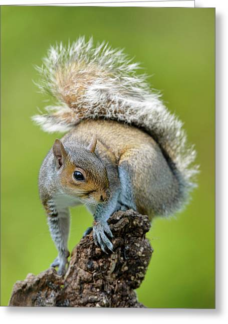 Grey Squirrel Greeting Card by Dr P. Marazzi