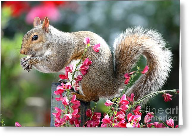 Sciurus Carolinensis Greeting Cards - Grey Squirrel in the Broom Flowers Greeting Card by Terri  Waters