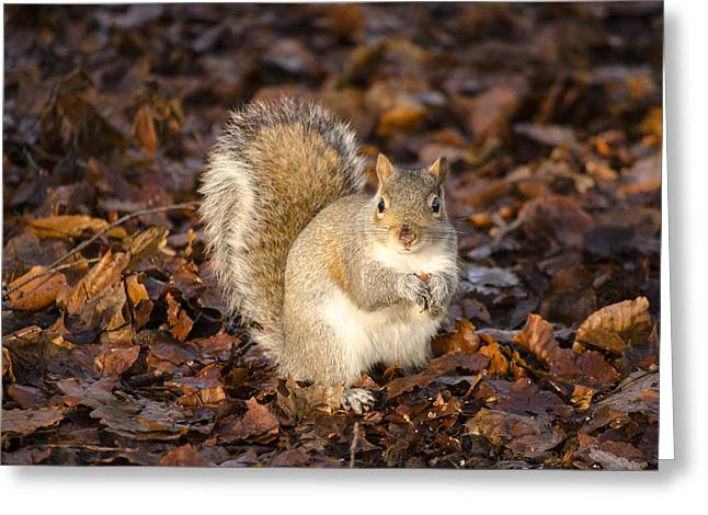Sciurus Carolinensis Greeting Cards - Grey squirrel Greeting Card by Karen Lawrence  SMPhotography