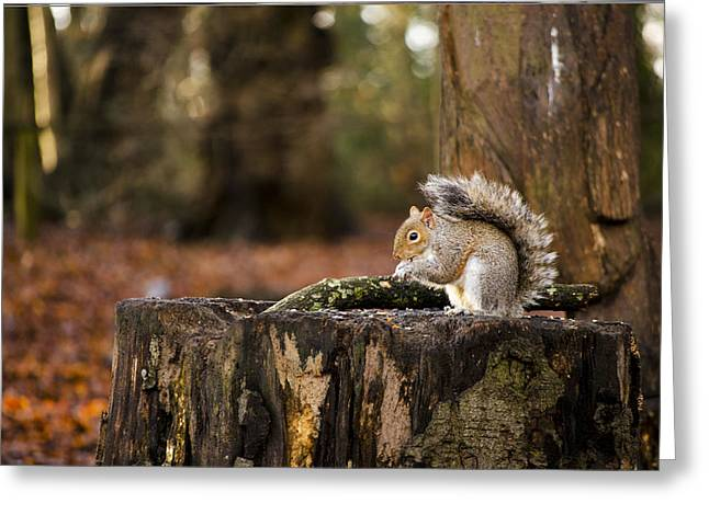 Sciurus Carolinensis Greeting Cards - Grey Squirrel on a Stump Greeting Card by Karen Lawrence  SMPhotography